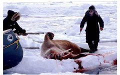 Canada holds commercial seal hunts