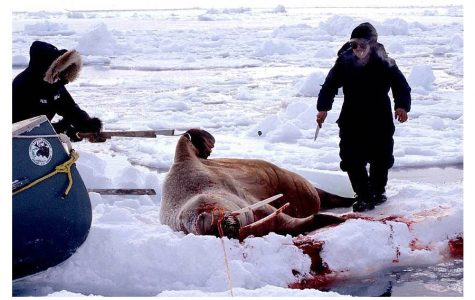 Killing seals is a common hunting experience in Canada.