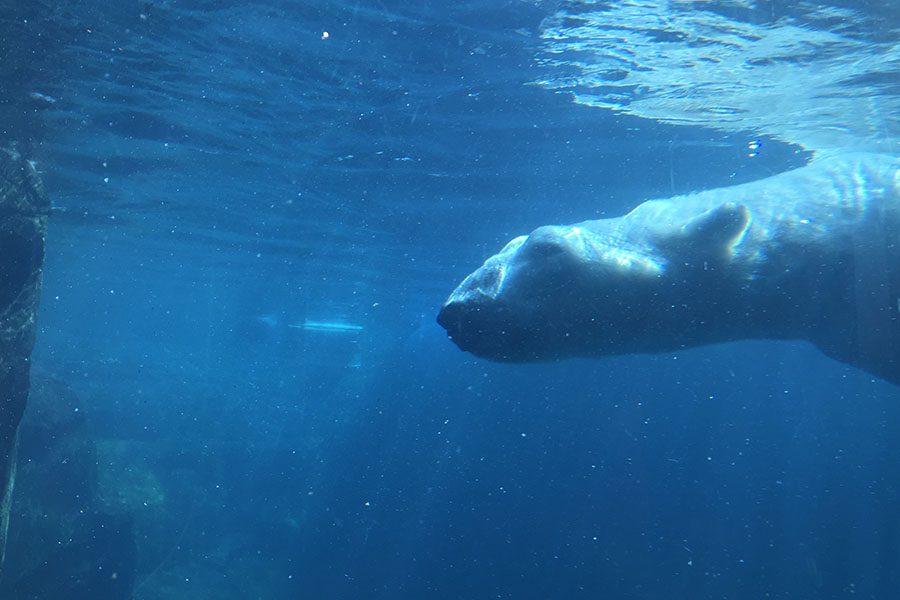Polar+Bears+At+the+Zoo