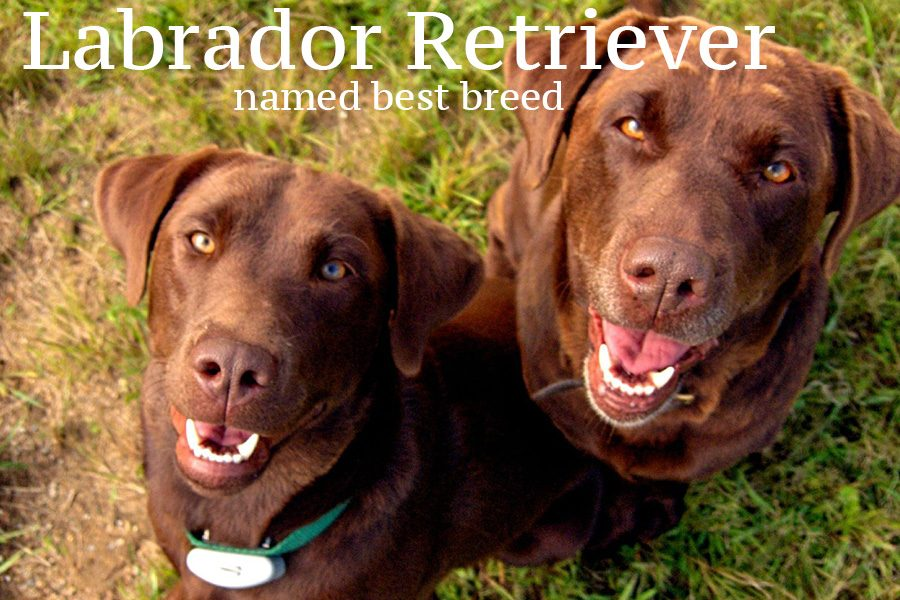 Labrador Retriever have been named the most popular dog breed for the 28th year in a row.