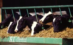 How many pounds of milk does a dairy cow produce in a day?
