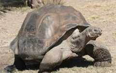 Not so extinct tortoise found in Galápagos Islands