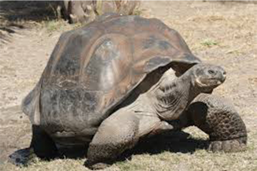 The rare Ferdinand tortoise was thought to be extinct but a 100+ year old female was recently found.