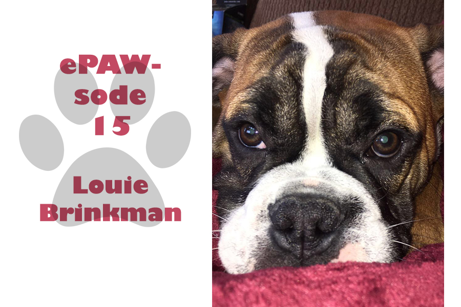 Louie Brinkman is a one year old Old English Bulldog.