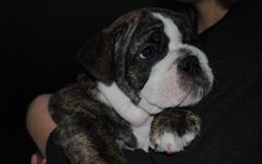 Maya Workmans English/ Old English mix Bulldog as a puppy.