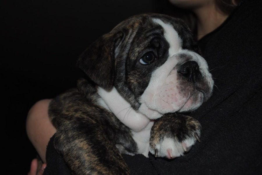 Maya+Workmans+English%2F+Old+English+mix+Bulldog+as+a+puppy.+
