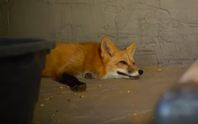 The fox just might be man's new best friend