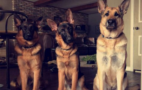Here's all three of my dogs. From left to right, their names are Ryker, Ranger, and Nyx.