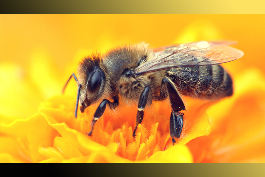 Aww look how fluffy this honey bee is! Perfect for caring pollen from plant to plant!