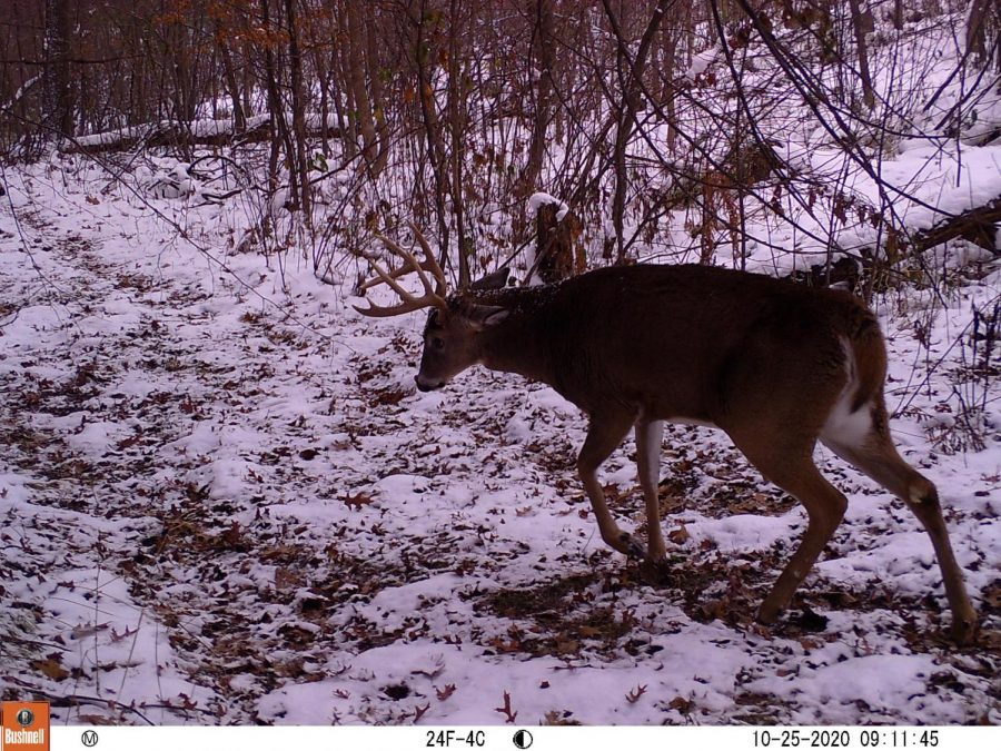 Nice 9 point buck on a Bushnell trail camera.