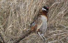 Rooster pheasant shot from public land.