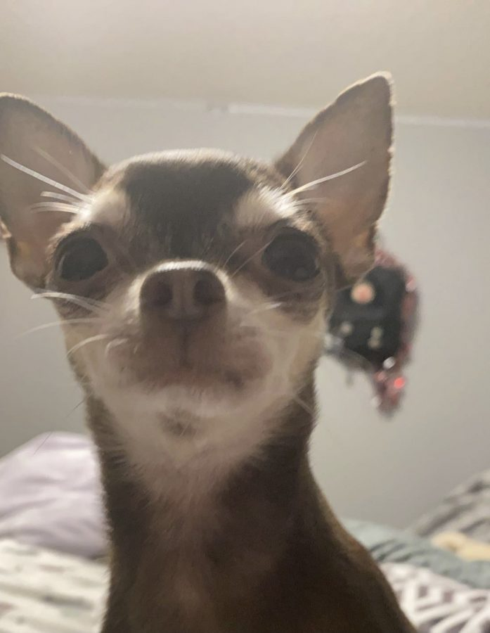 My dog, Bubbles, who is a teacup chihuahua, which is a very rare bread.
