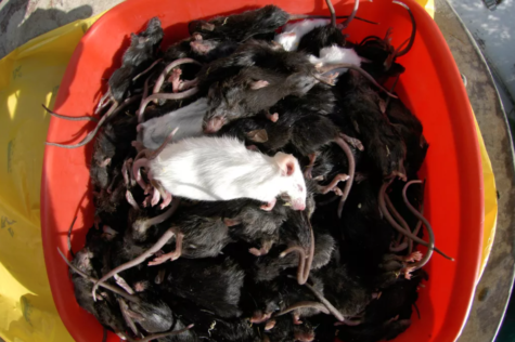 Australian citizens are being overwhelmed with deceased mice.