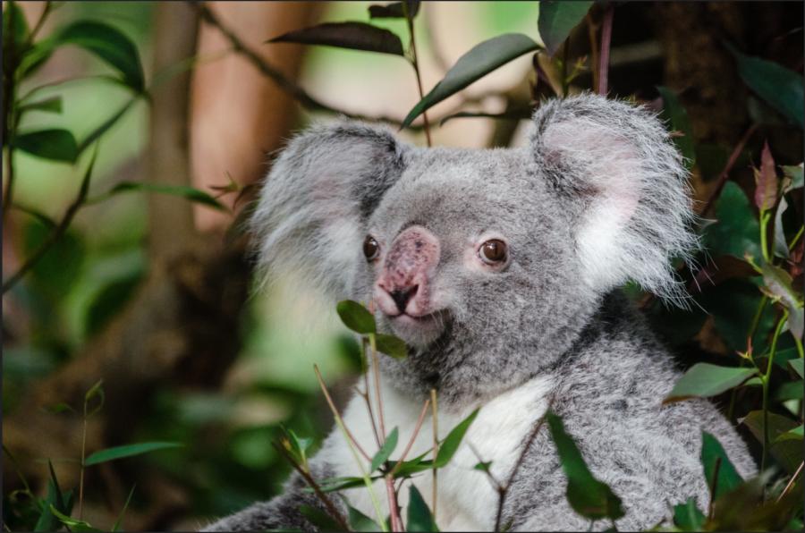 A koala lounging in its natural habitat.